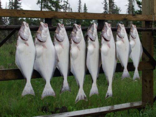 Alaska halibut