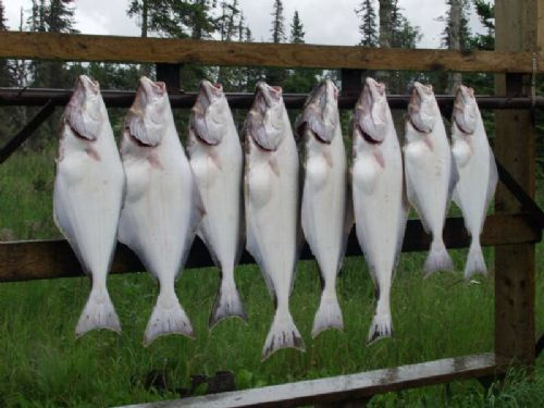 alaska-halibut-fishing:  Eight halibut catch