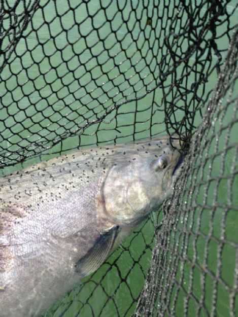kenai-fishing-report-kasilof/Alaska fish in a net