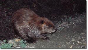 Alaska wildlife - a beaver